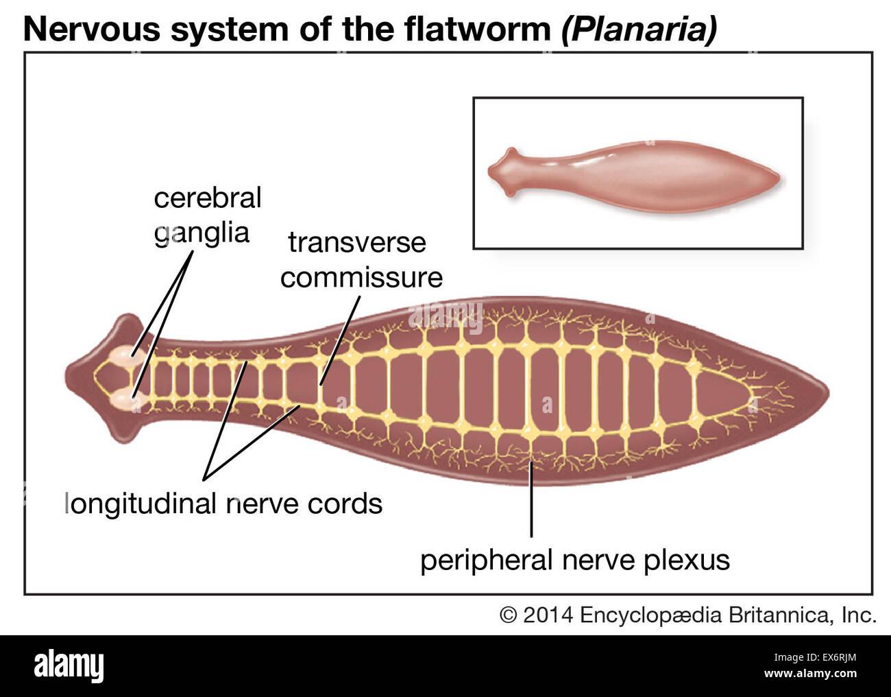 Nerves System Imágenes De Stock & Nerves System Fotos De Stock - Alamy