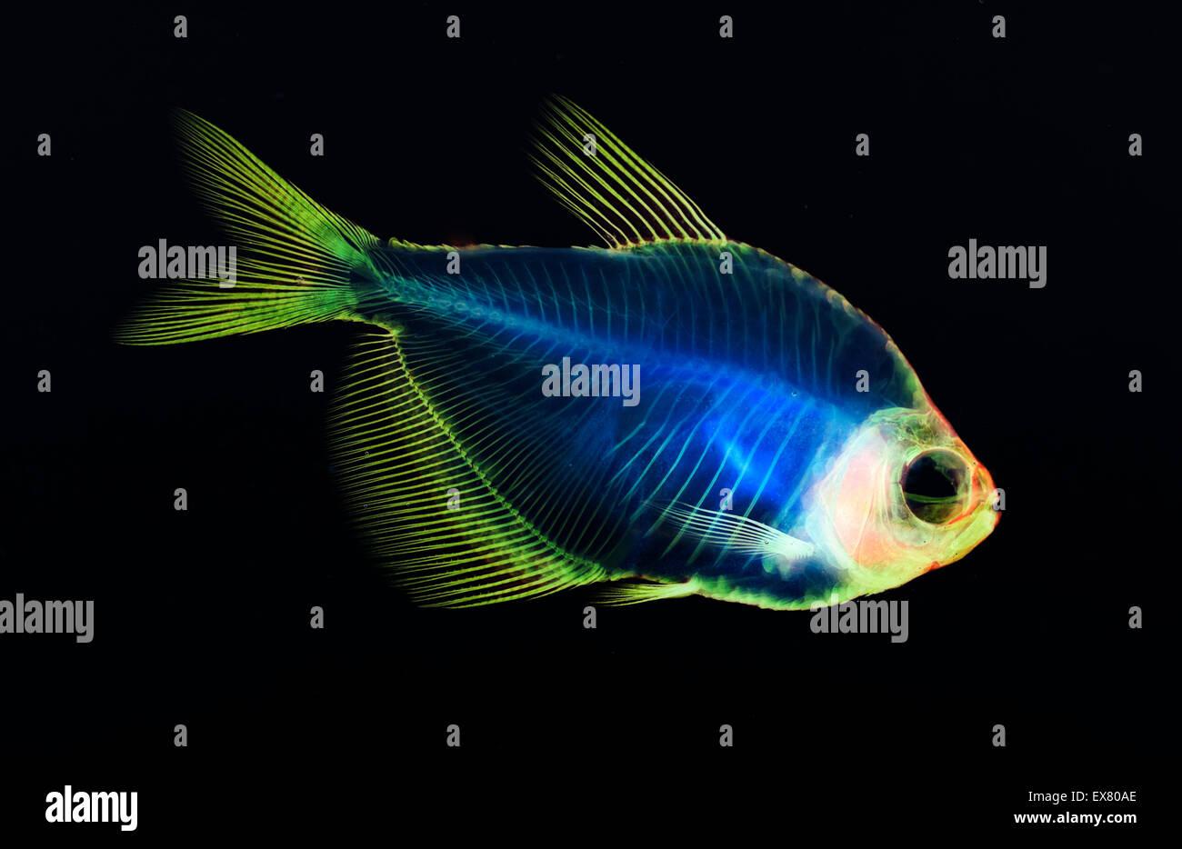 Anatomía del esqueleto de pescado Foto & Imagen De Stock: 84998438 ...