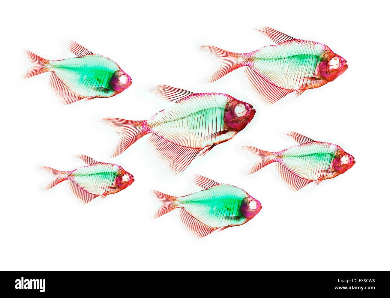Anatomía del esqueleto de pescado Foto & Imagen De Stock: 85008260 ...