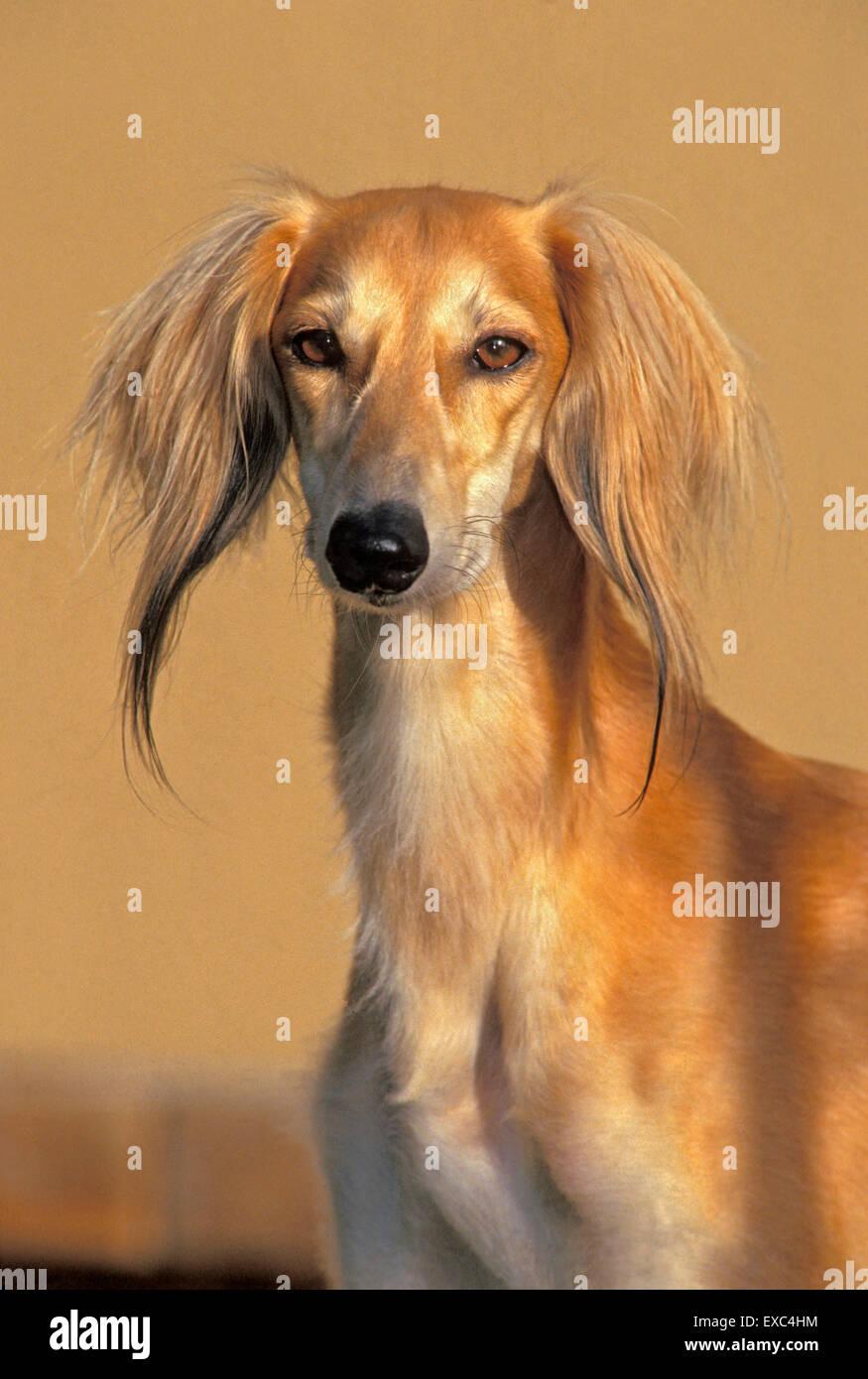 Hermoso perro Saluki o galgo persa, macho, retrato Foto de stock