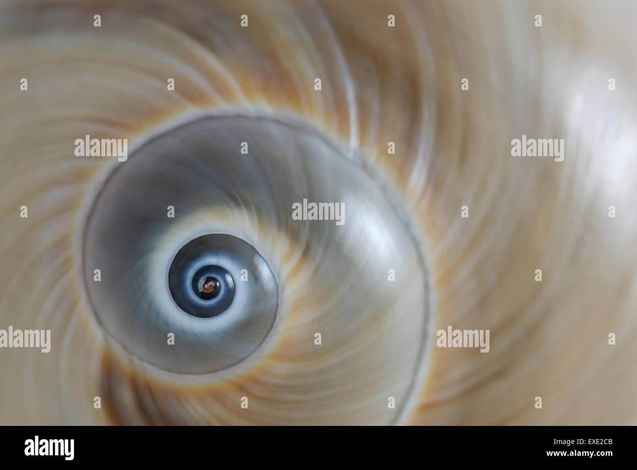 La espiral de la concha de un Caracol Atlantic 'Moon' Neverita duplicata también conocido como ojo Imagen De Stock
