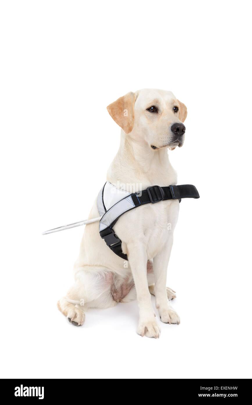 Perro guía para los ciegos recorte aislado sobre fondo blanco. Foto de stock