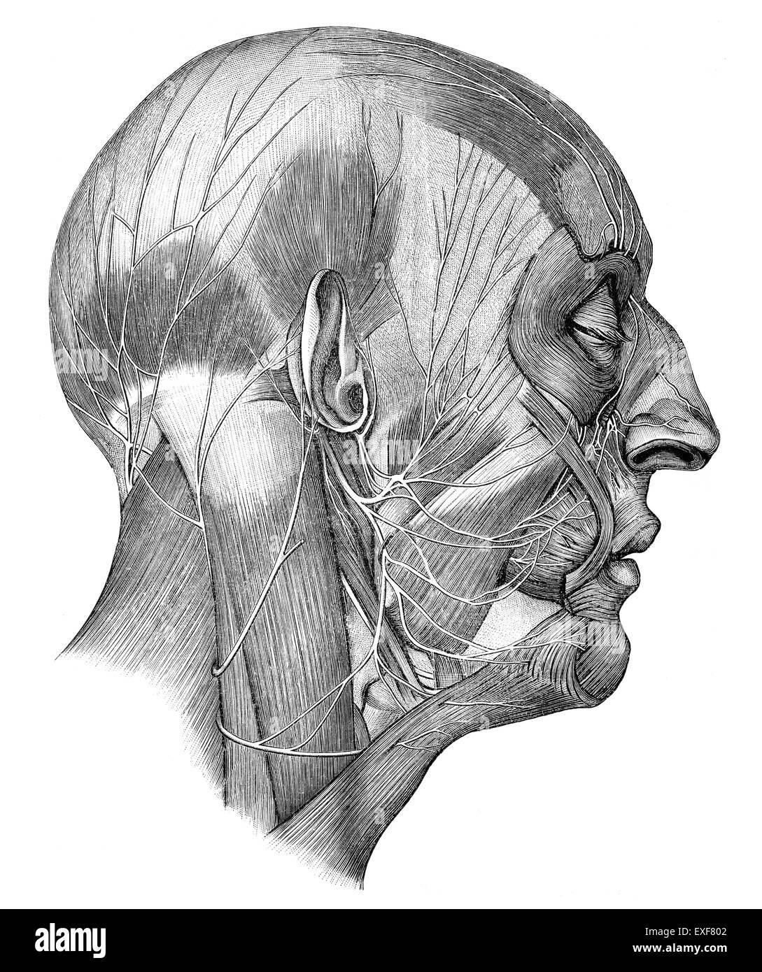 Cabeza humana con nervios craneales Imagen De Stock