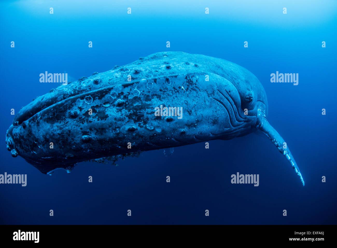 Una ballena jorobada hembra descansando en las profundidades de la isla Roca Partida, México Foto de stock
