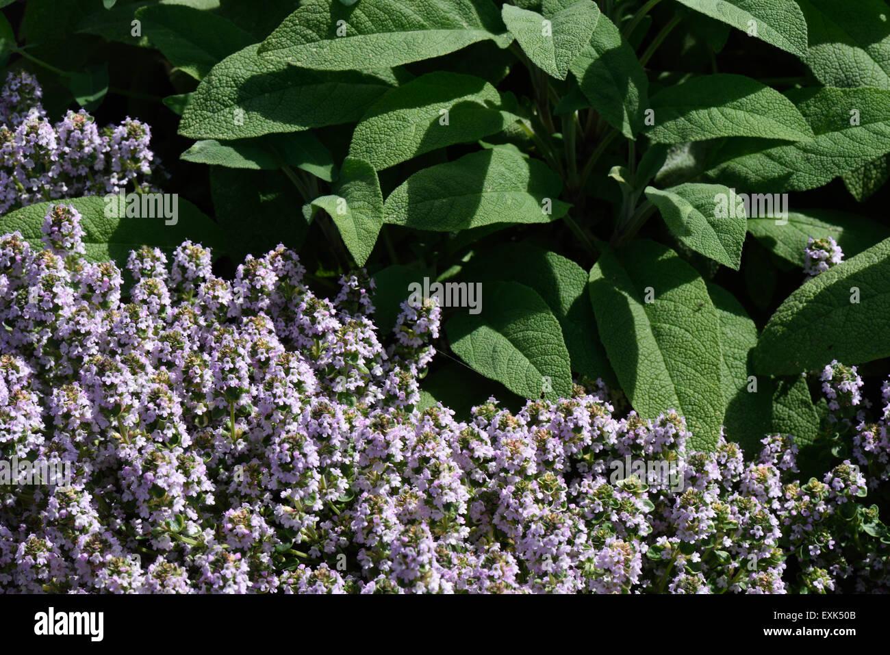 Cama levantada de hierbas culinarias, tomillo y Salvia (floración) para su uso en la cocina Imagen De Stock