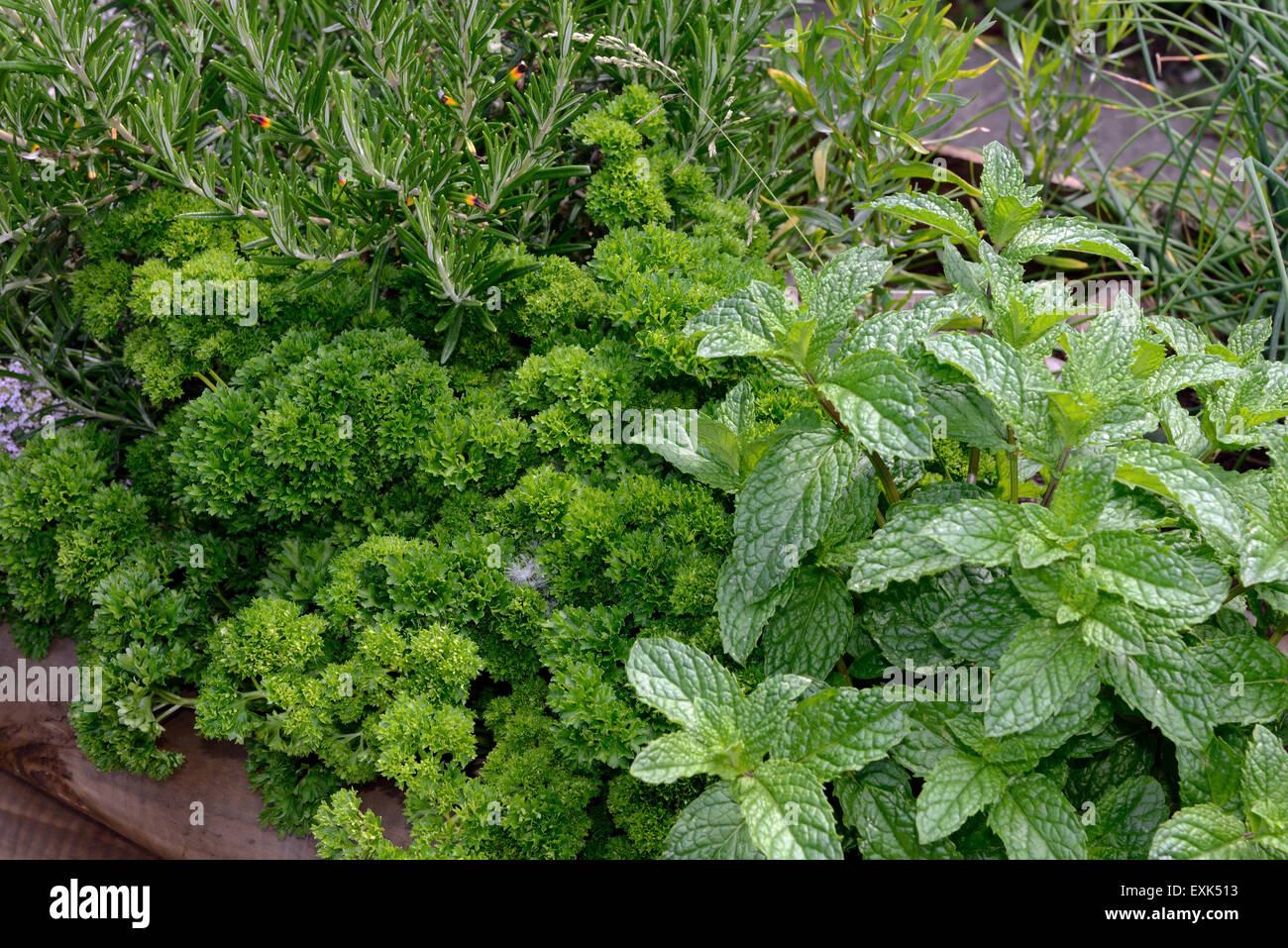 Cama levantada de hierbas culinarias, menta, perejil de hoja rizada y romero para su uso en la cocina Imagen De Stock