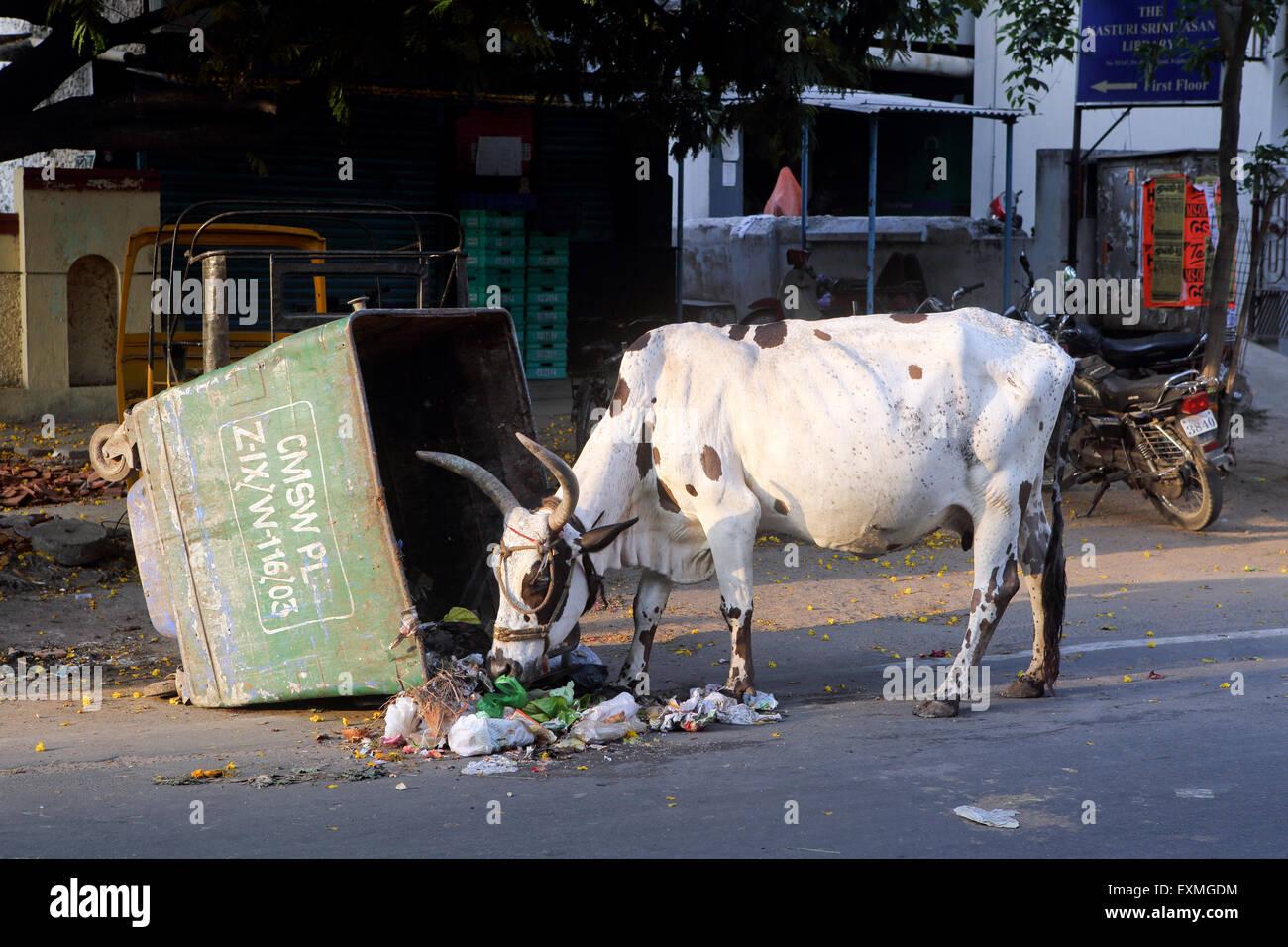 Pastoreo de vacas de basuras skip en Chennai urban street Imagen De Stock