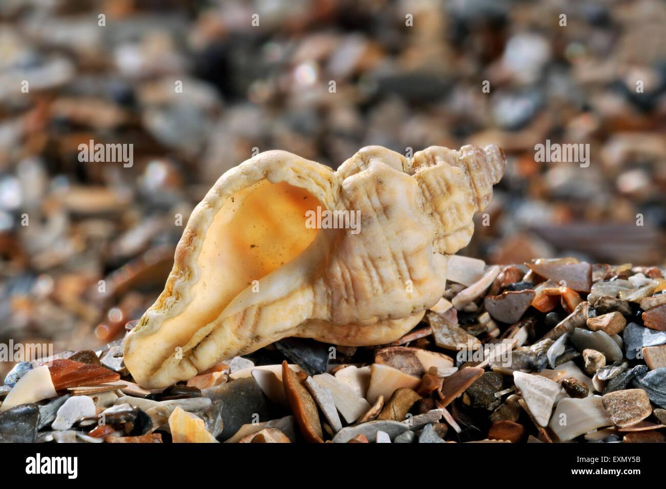 Sting winkle / taladro / Erizo Oyster Murex (Ocenebra erinacea) lavados en la playa Foto de stock