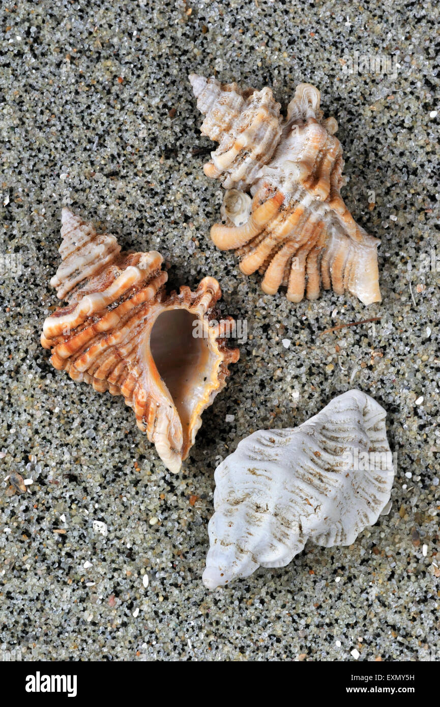 Sting winkle / taladro / Erizo Oyster Murex (Ocenebra erinacea) conchas lavadas en la playa Foto de stock
