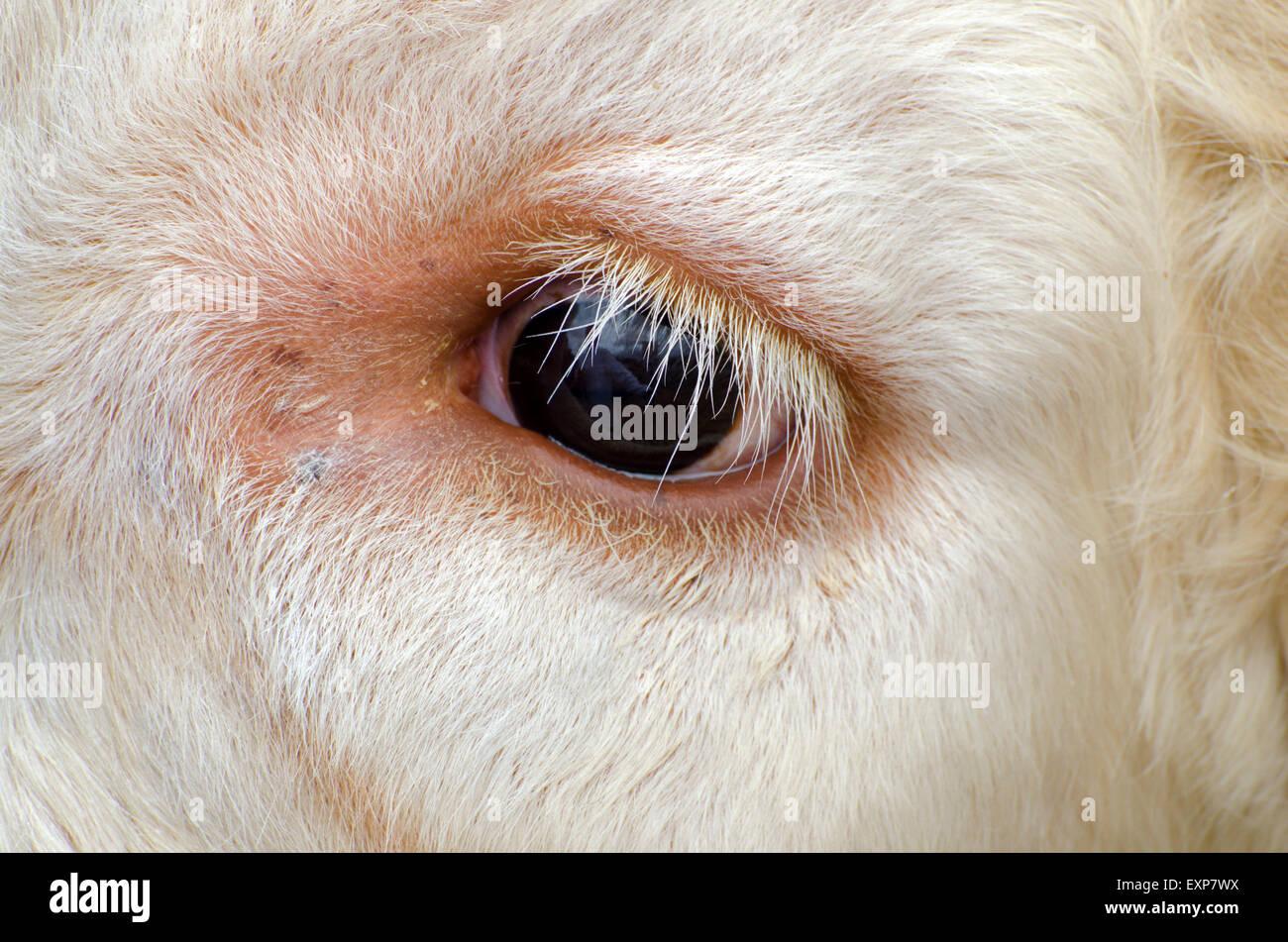 Animales domésticos en Grantown en Spey mostrar Highlands de Escocia Foto de stock