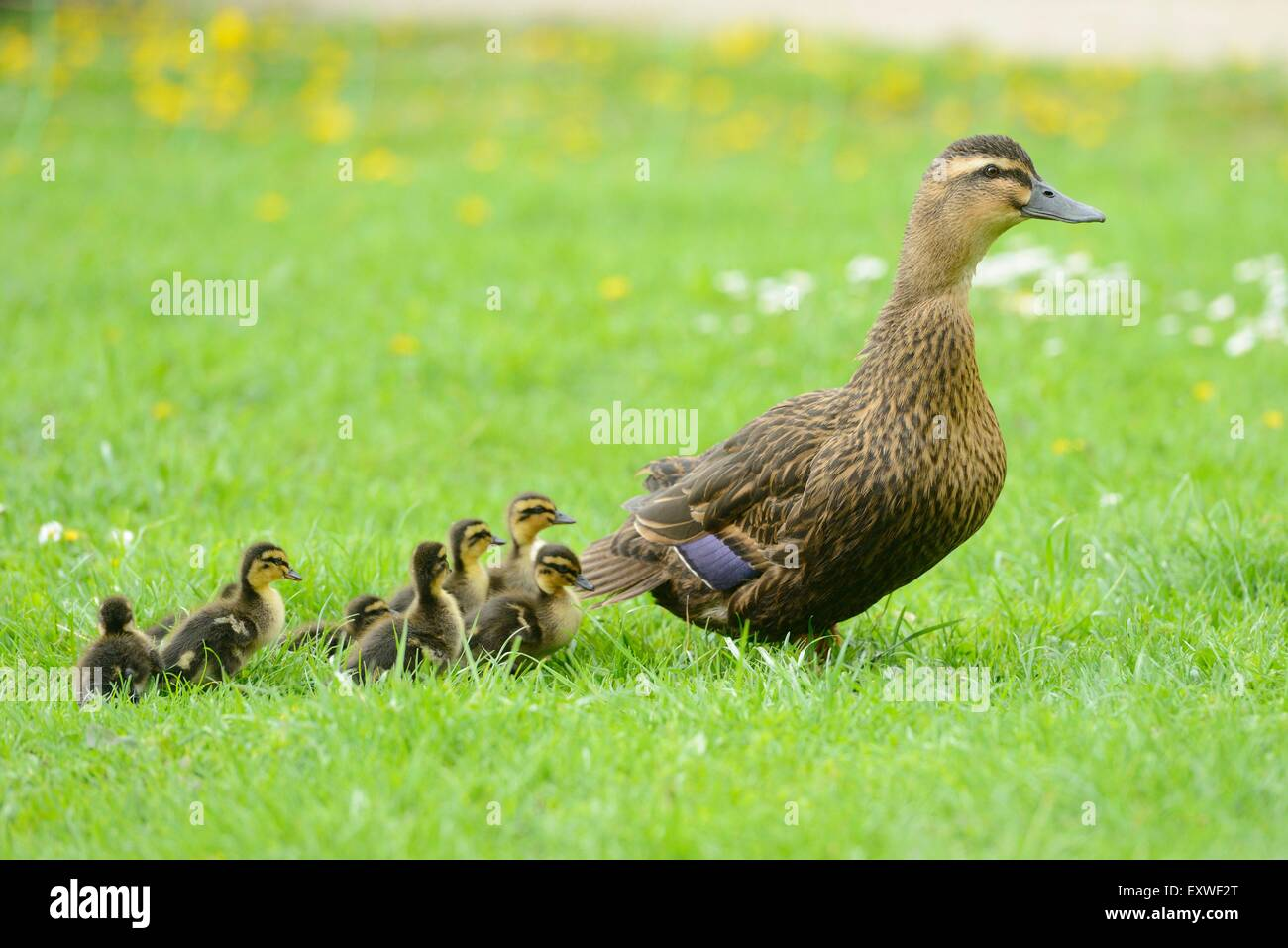 Patos pollitos animal pradera XXL muro imagen fotografía póster p0102