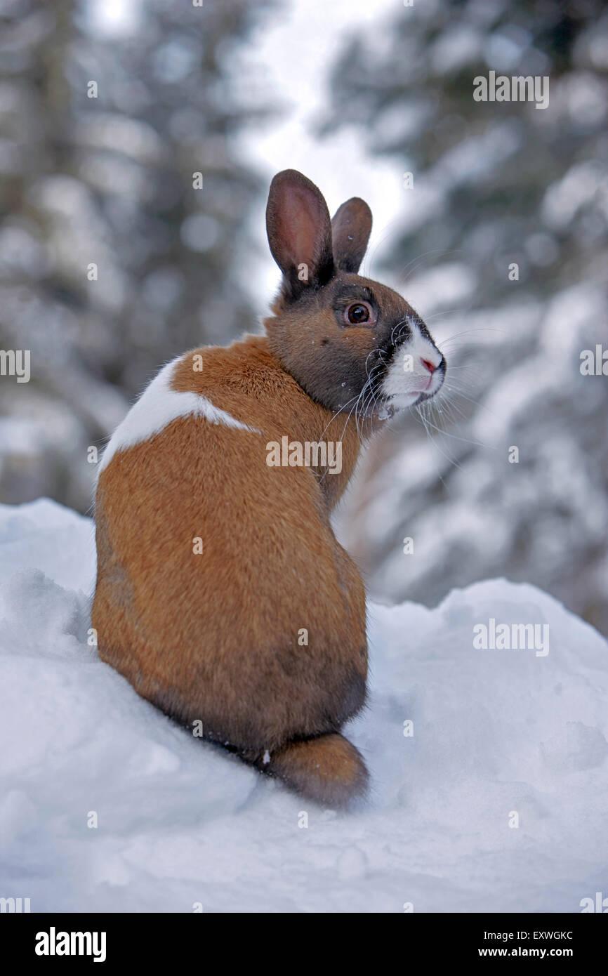 Macho de conejo doméstico, sentada en la nieve Imagen De Stock