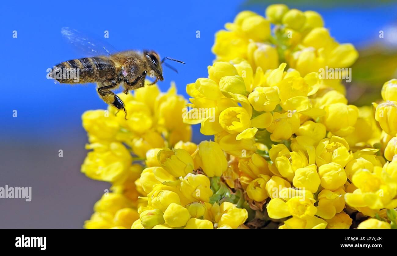 Abeja de miel, Apis mellifera, forrajeo nectar Foto de stock