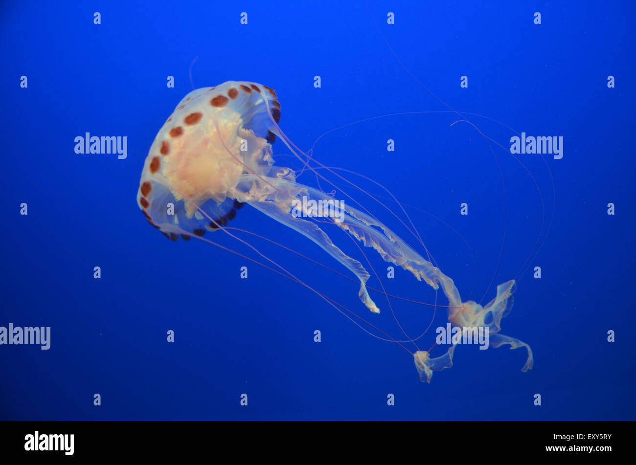 Medusas flotando pacíficamente en profundas aguas azules Foto de stock