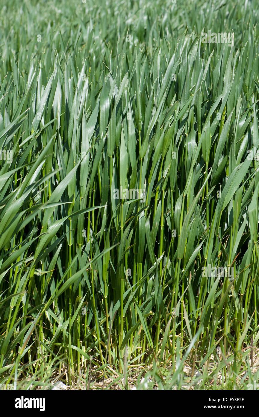 Cultivos de trigo de invierno entre el estadio 45 EAR en boot, Berkshire, Junio Imagen De Stock