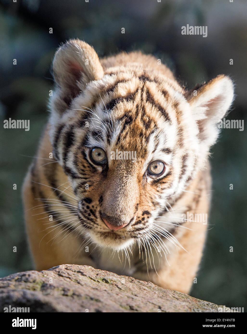 Macho (Amur) cachorro de tigre siberiano Imagen De Stock