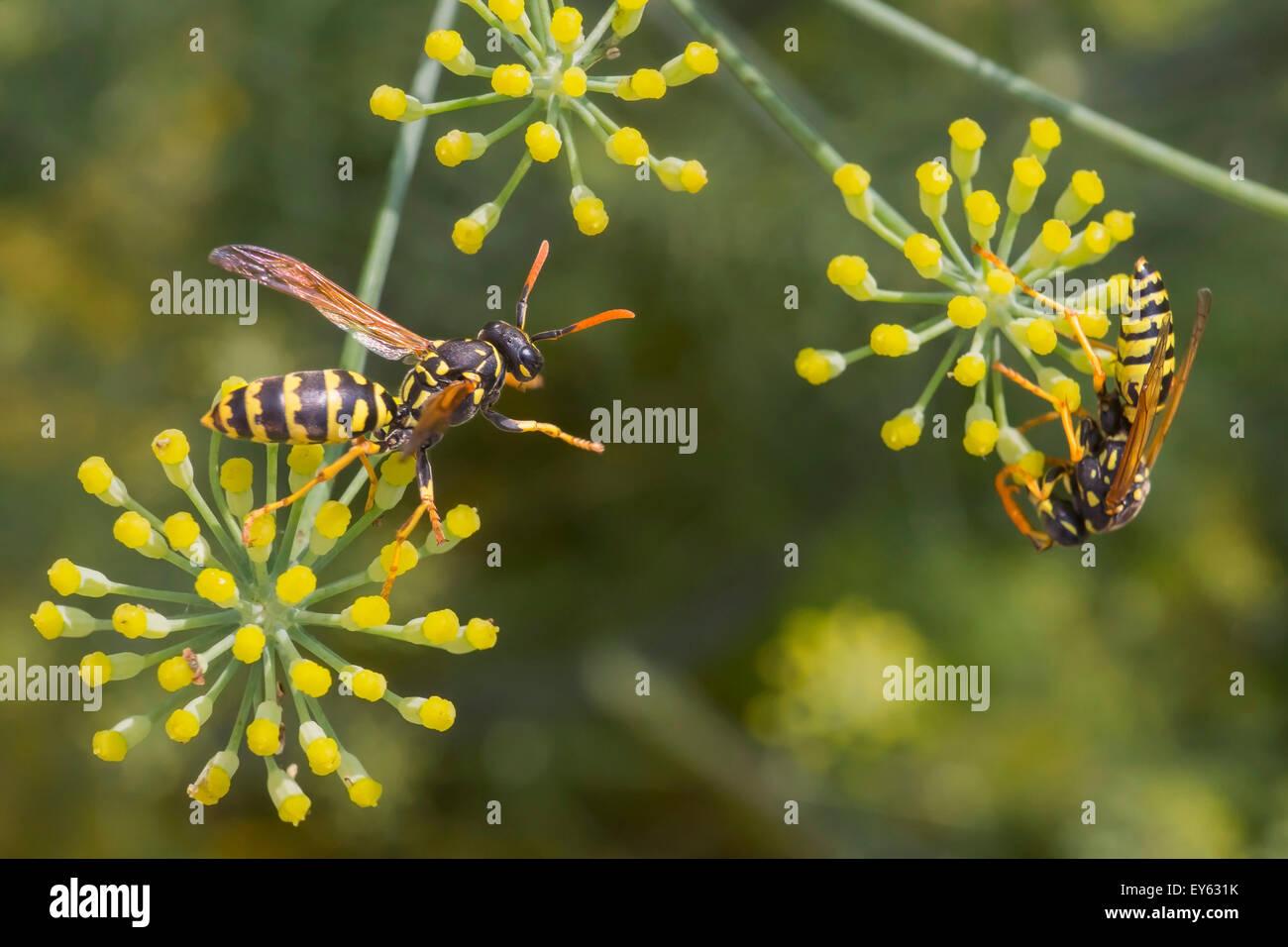 Las avispas sociales recogiendo el néctar de las flores del hinojo en verano Foto de stock