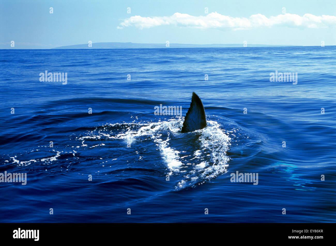 Aleta de tiburón blanco en las Islas Hawaianas rompiendo la superficie del océano Pacífico azul Foto de stock