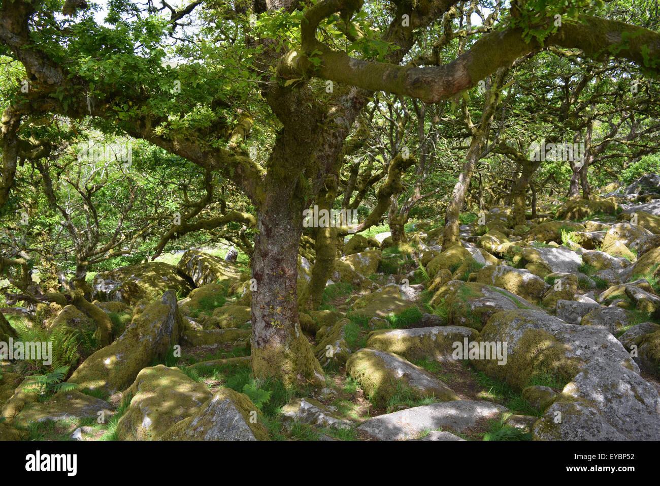 Wistmans Wood, a principios del verano. parque nacional de Dartmoor, Devon. El mando de gran altitud oakwood es Imagen De Stock