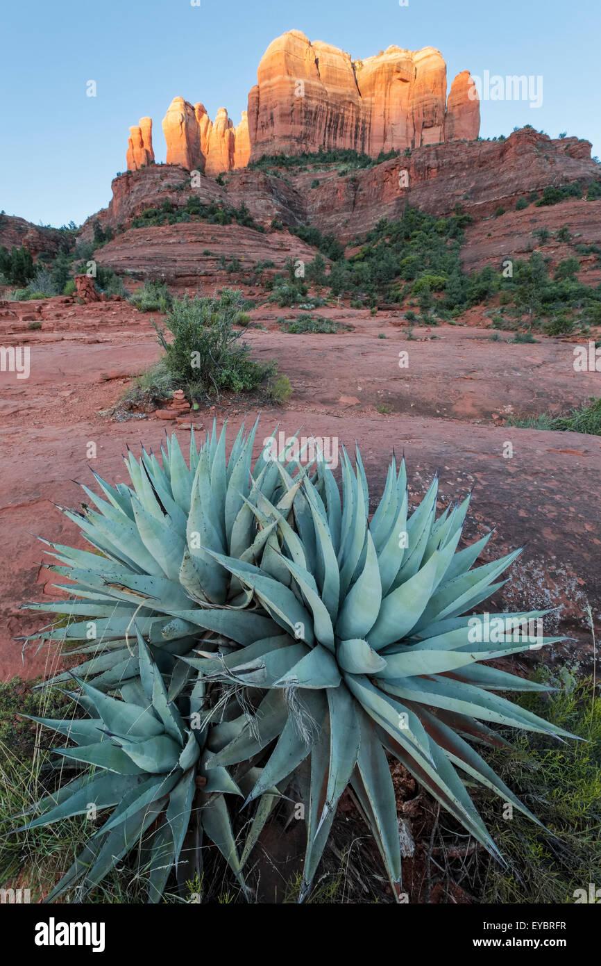 Agave y primera luz sobre Cathedral Rock, Sedona, Arizona Imagen De Stock