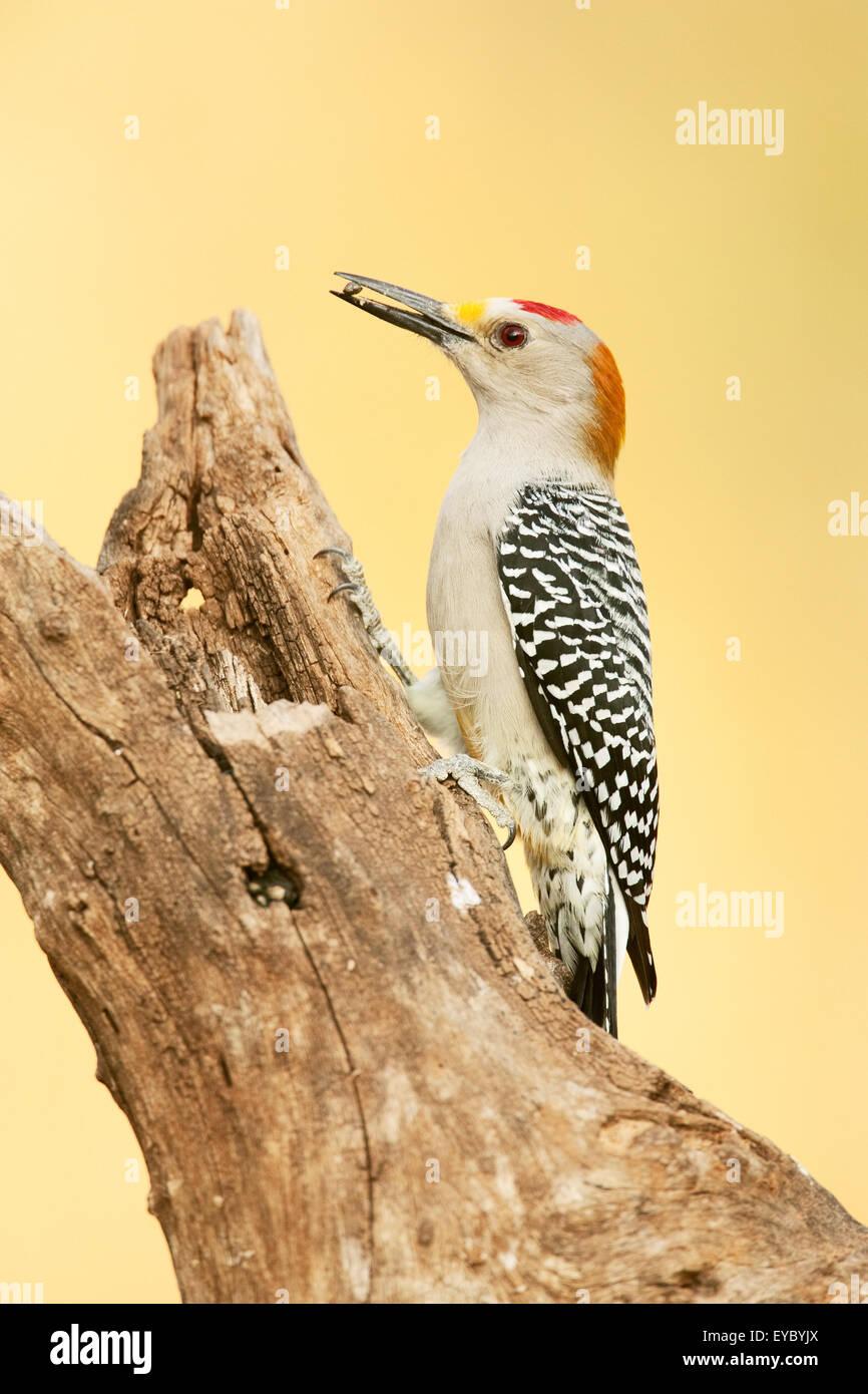 De fachada dorada Woodpecker (Melanerpes aurifrons) en el árbol muerto cerca de Linn, Texas, EE.UU. Foto de stock