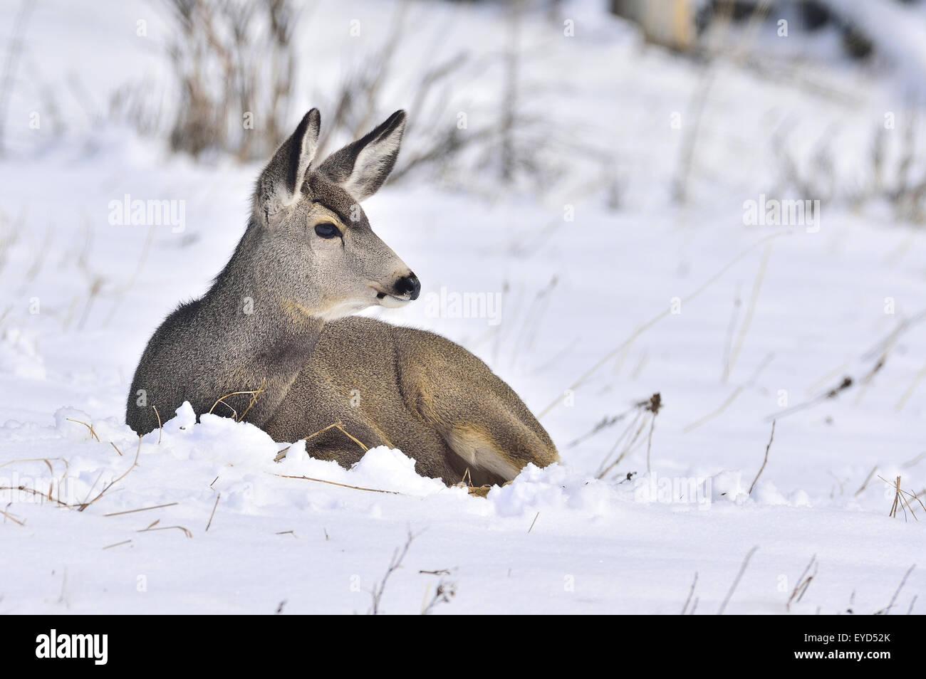 Una hembra, venado bura Odocoileus hemionus, tendido en la nieve fresca en la zona rural de Alberta, Canadá Imagen De Stock