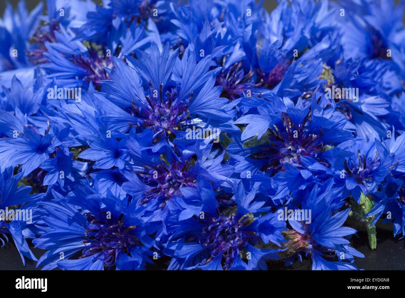 Centaurea cyanus Kornblume;;;; Kornblumen Ackerpflanzen, Foto de stock