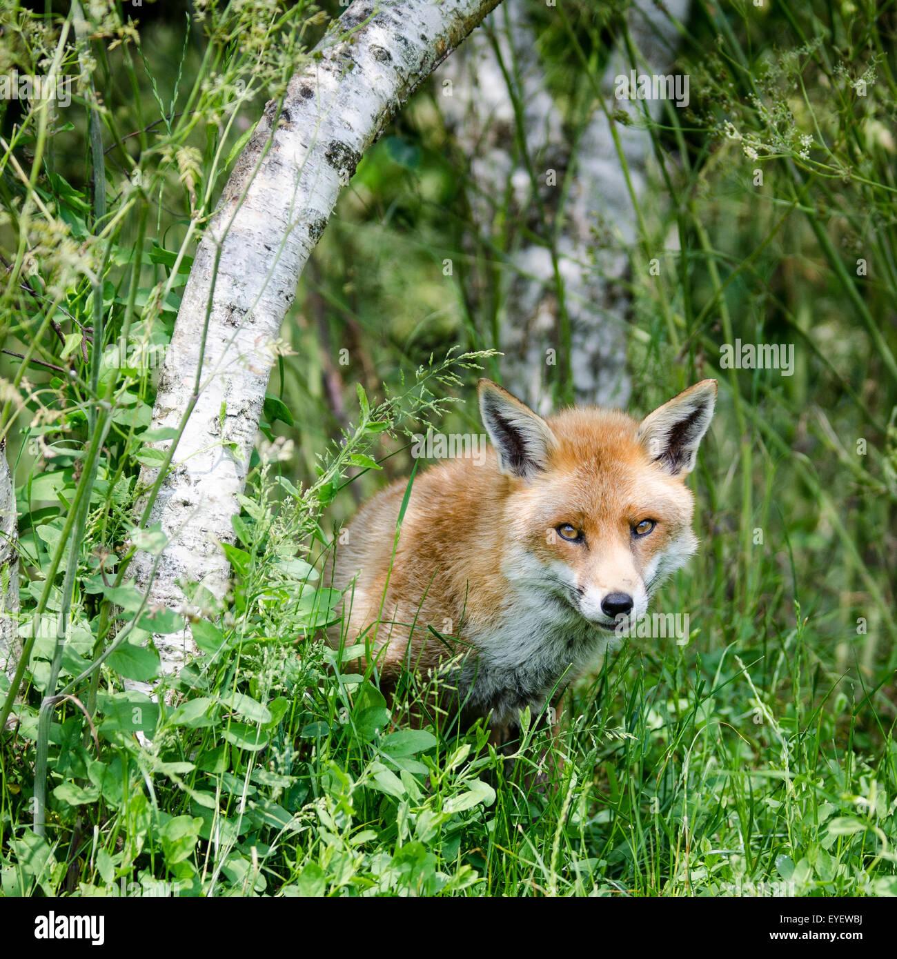 Unión el zorro (Vulpes vulpes) sentados en el campo, en el Reino Unido. Imagen De Stock