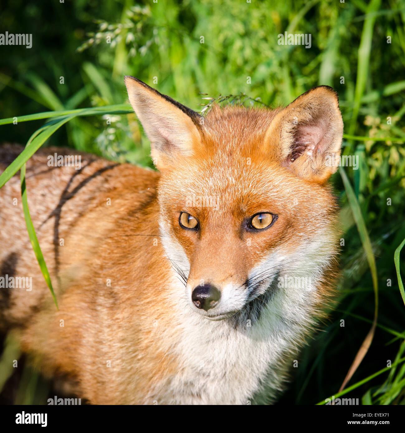 Unión el zorro (Vulpes vulpes), Reino Unido. Imagen De Stock
