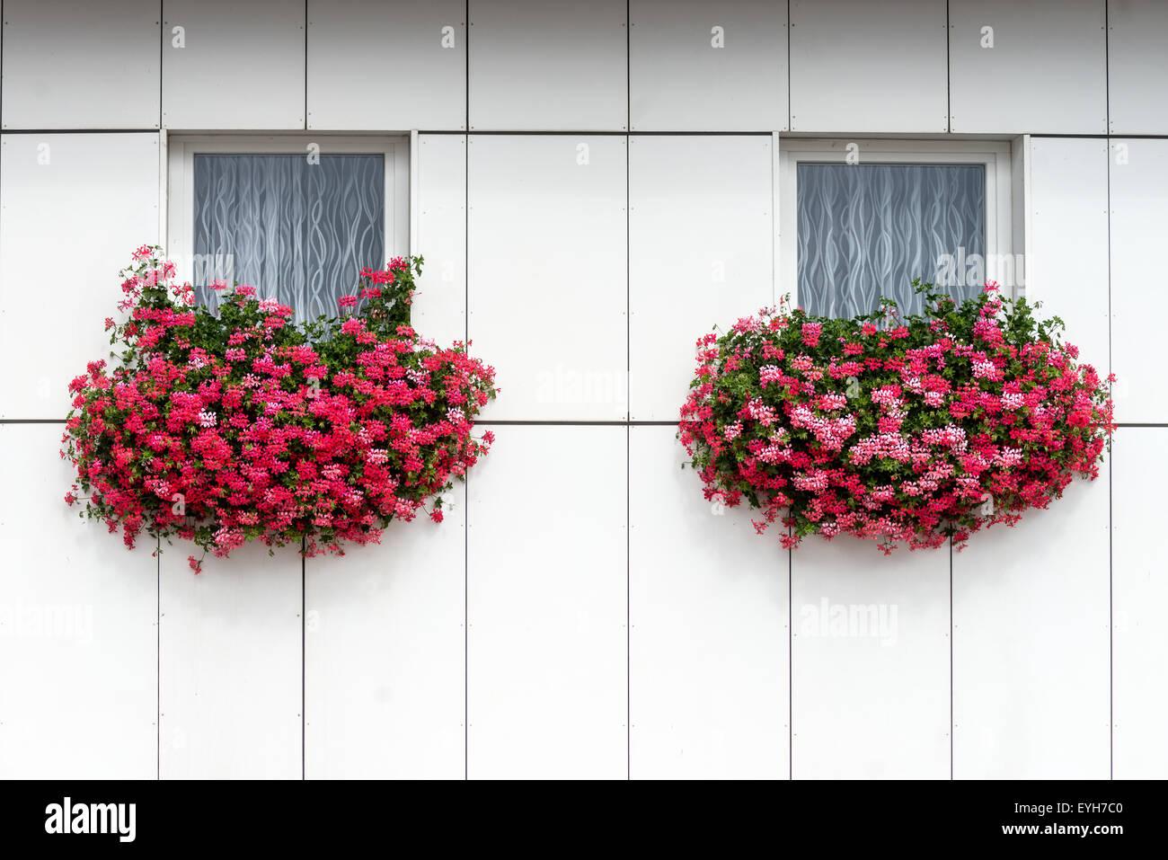 Landshut, Alemania. El 29 de julio, 2015. Geranios colgados en las ventanas de una casa en Neufahrn, en la Baja Foto de stock