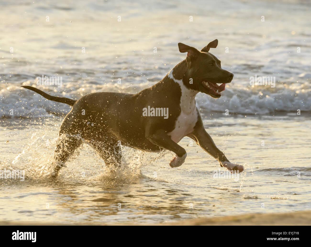 Bulldog americano chapoteos de surf Imagen De Stock