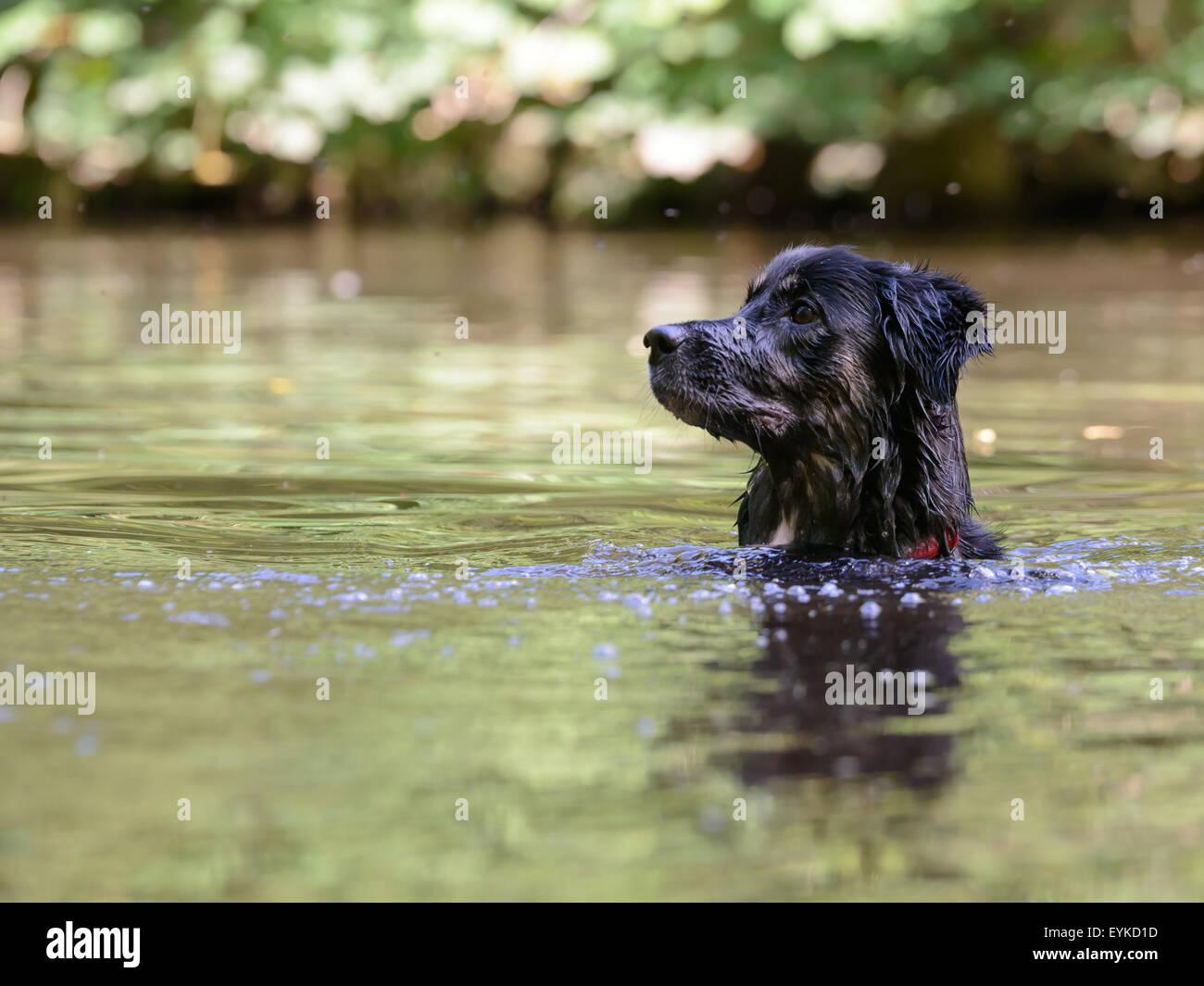 Collie perro cruzar nadando en el lago esperando a ser arrojados de juguete Imagen De Stock