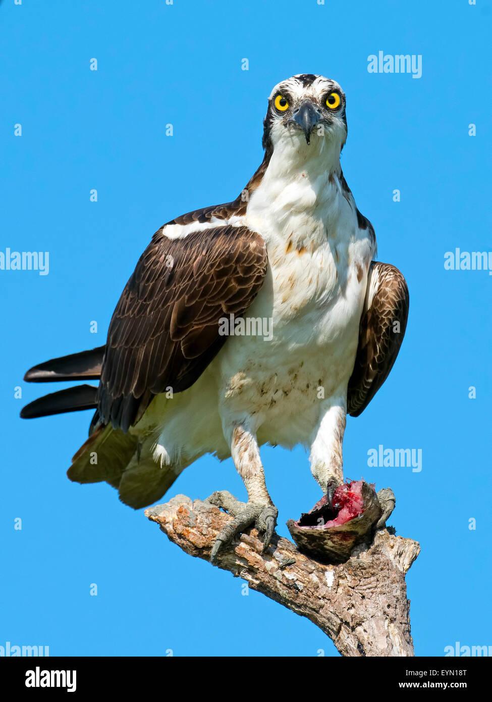 Osprey con Pescado decapitado. Imagen De Stock