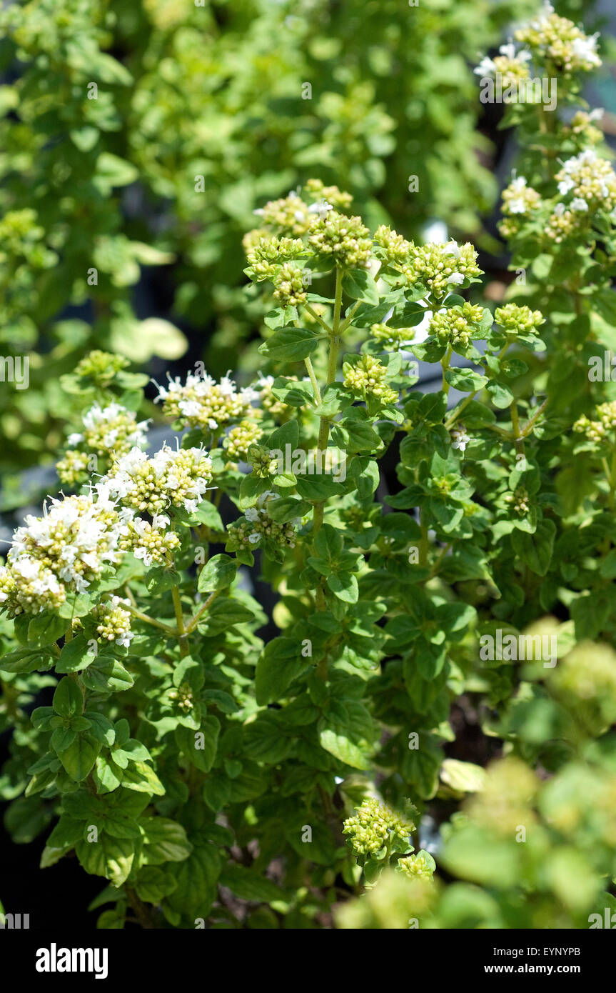Majoran Franzoesischer, Origanum onites,,, Foto de stock