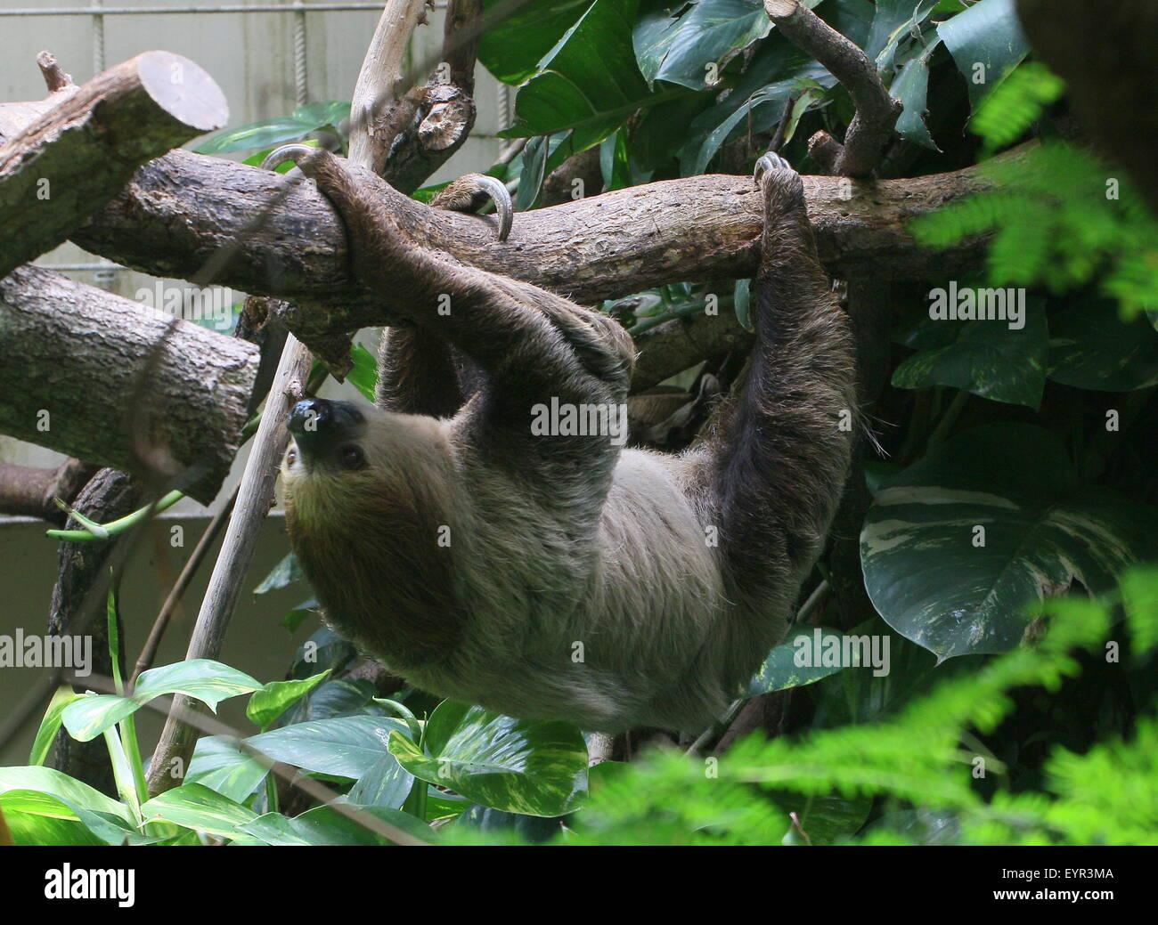South American Linnaeus dos vetado pereza o del Sur dos dedos cada sloth (Choloepus didactylus) en el zoo Noorder Dierenpark Zoo, Países Bajos Foto de stock