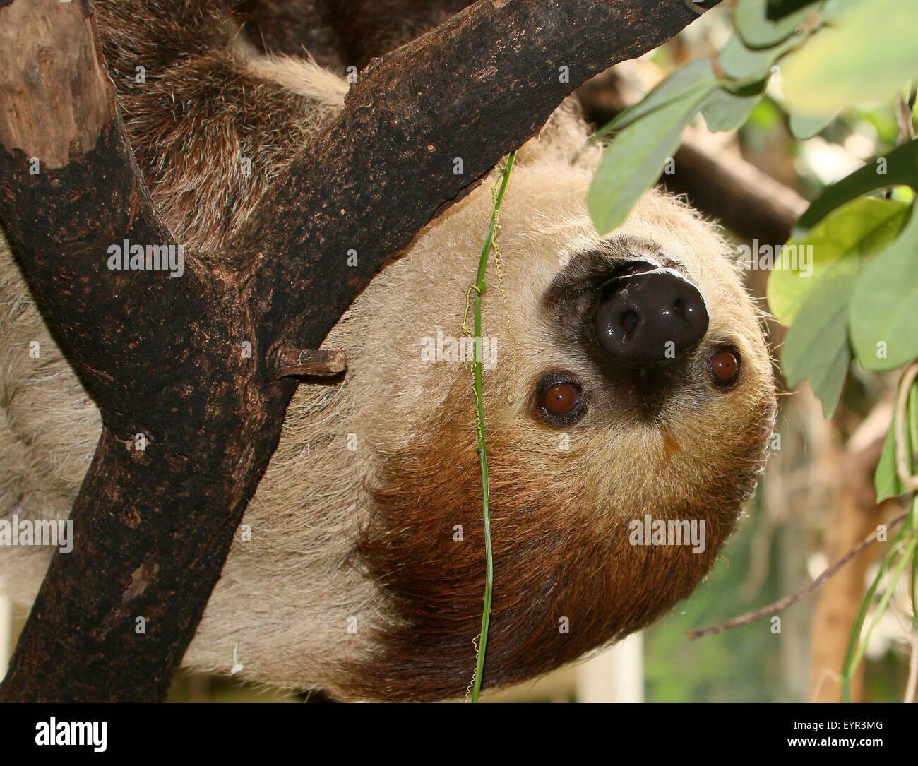 South American Linnaeus dos vetado pereza o del Sur dos dedos cada sloth (Choloepus didactylus), cerca de la cabeza Foto de stock