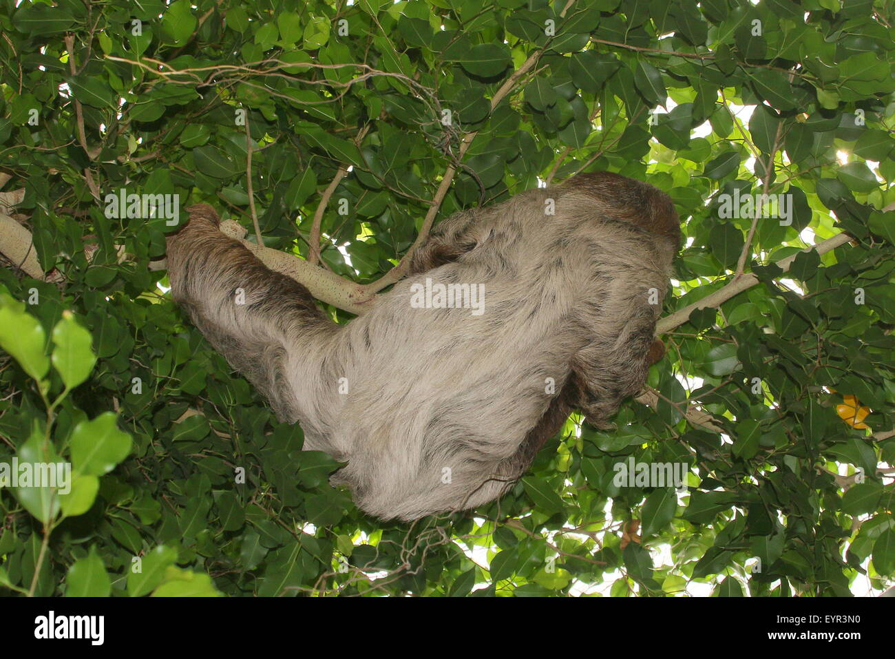 South American Linnaeus dos vetado pereza o del Sur dos dedos cada sloth (Choloepus didactylus) Foto de stock