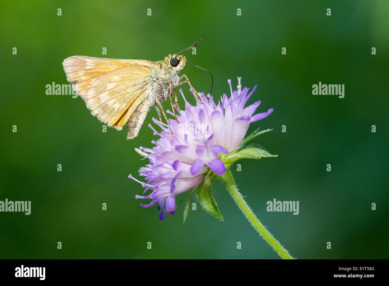 Un skipper es chupar néctar de una flor compuesta. Foto de stock