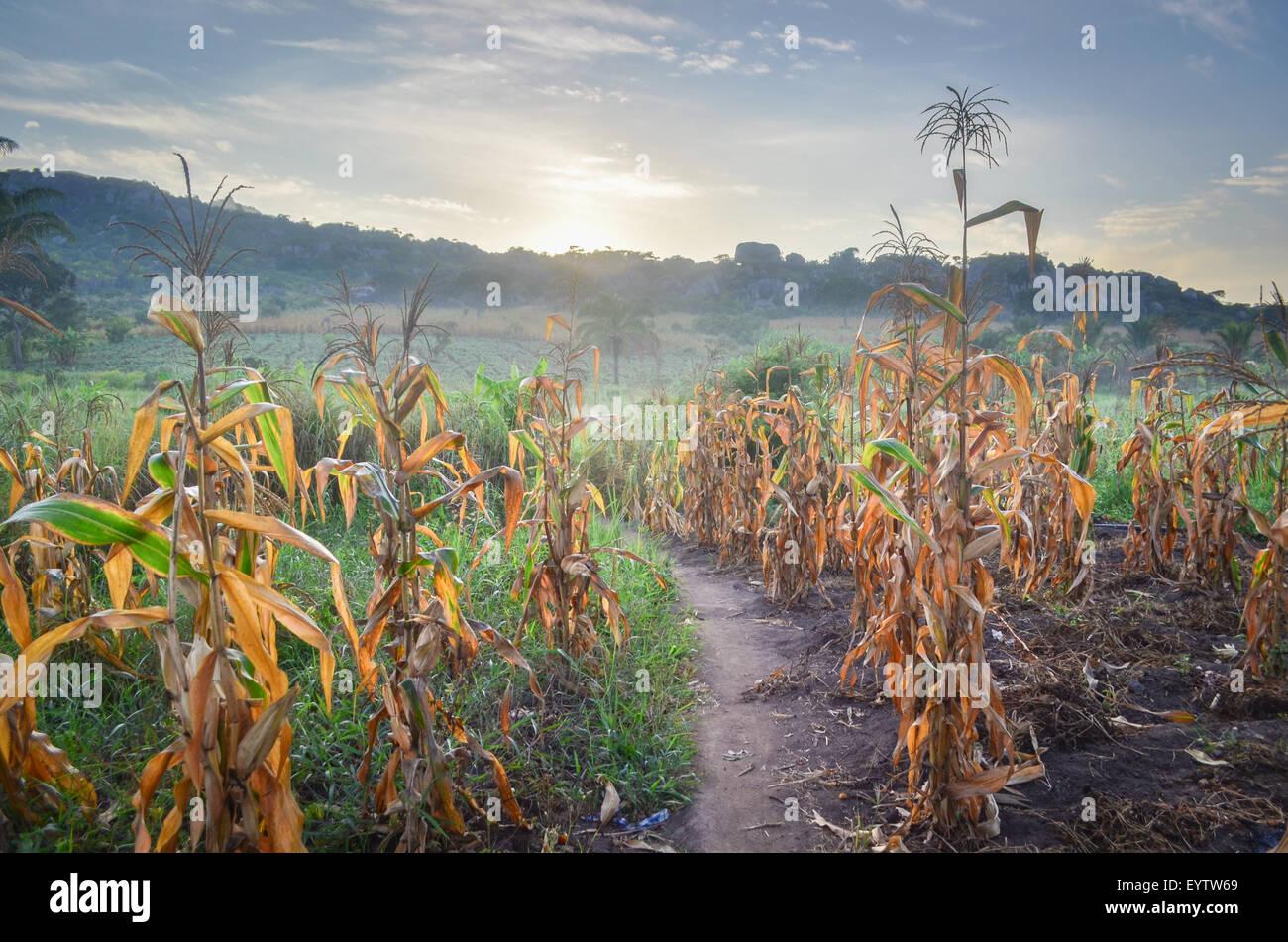 Los campos de maíz (maíz) en la provincia de Cuanza Sul de Angola al amanecer. Imagen De Stock