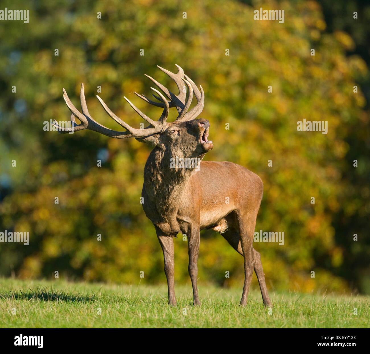 Ciervo rojo (Cervus elaphus) mugidos durante la temporada de celo, cautiva, Baja Sajonia, Alemania Imagen De Stock