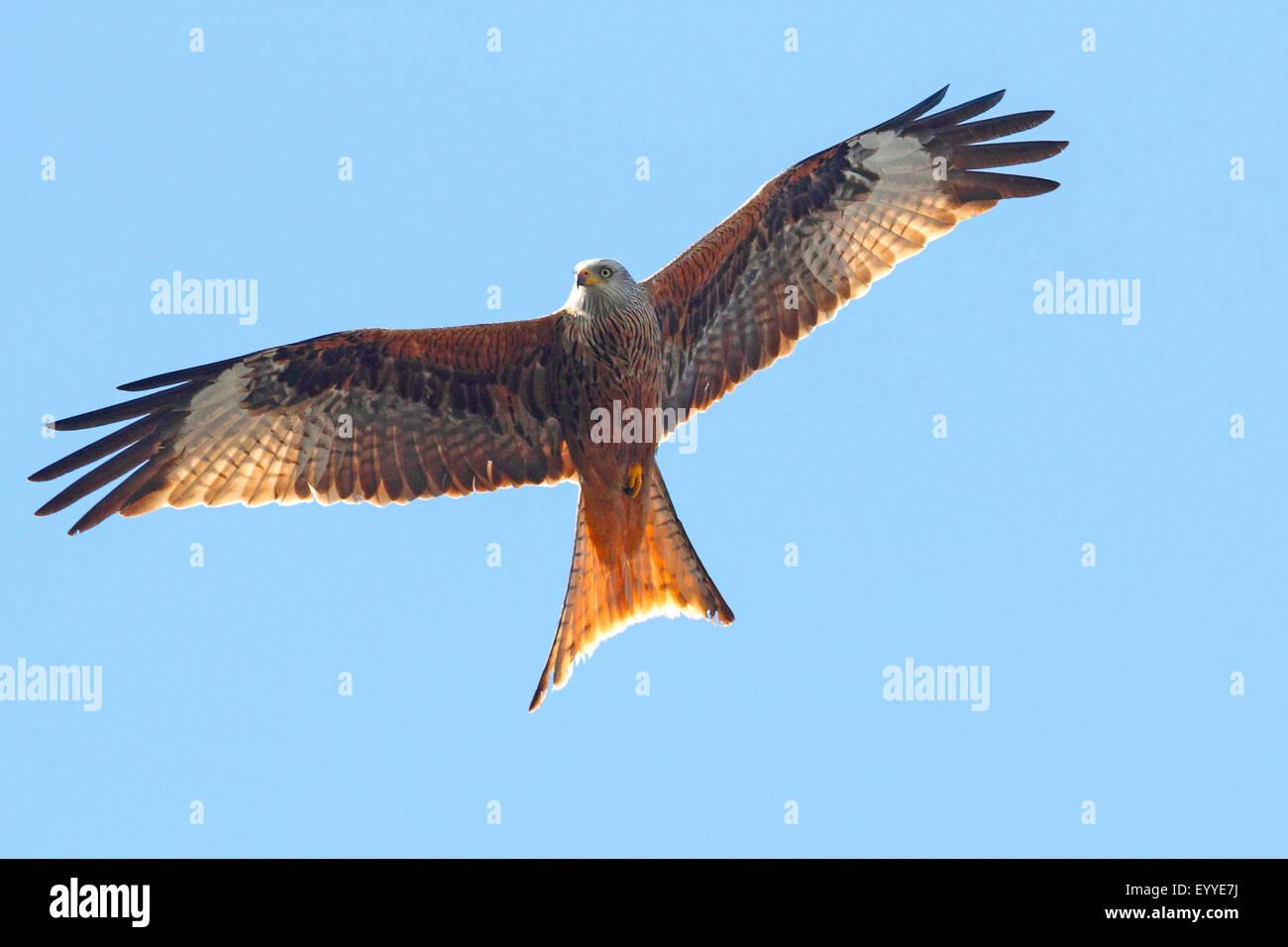 Milano real (Milvus milvus), en vuelo, Alemania Foto de stock