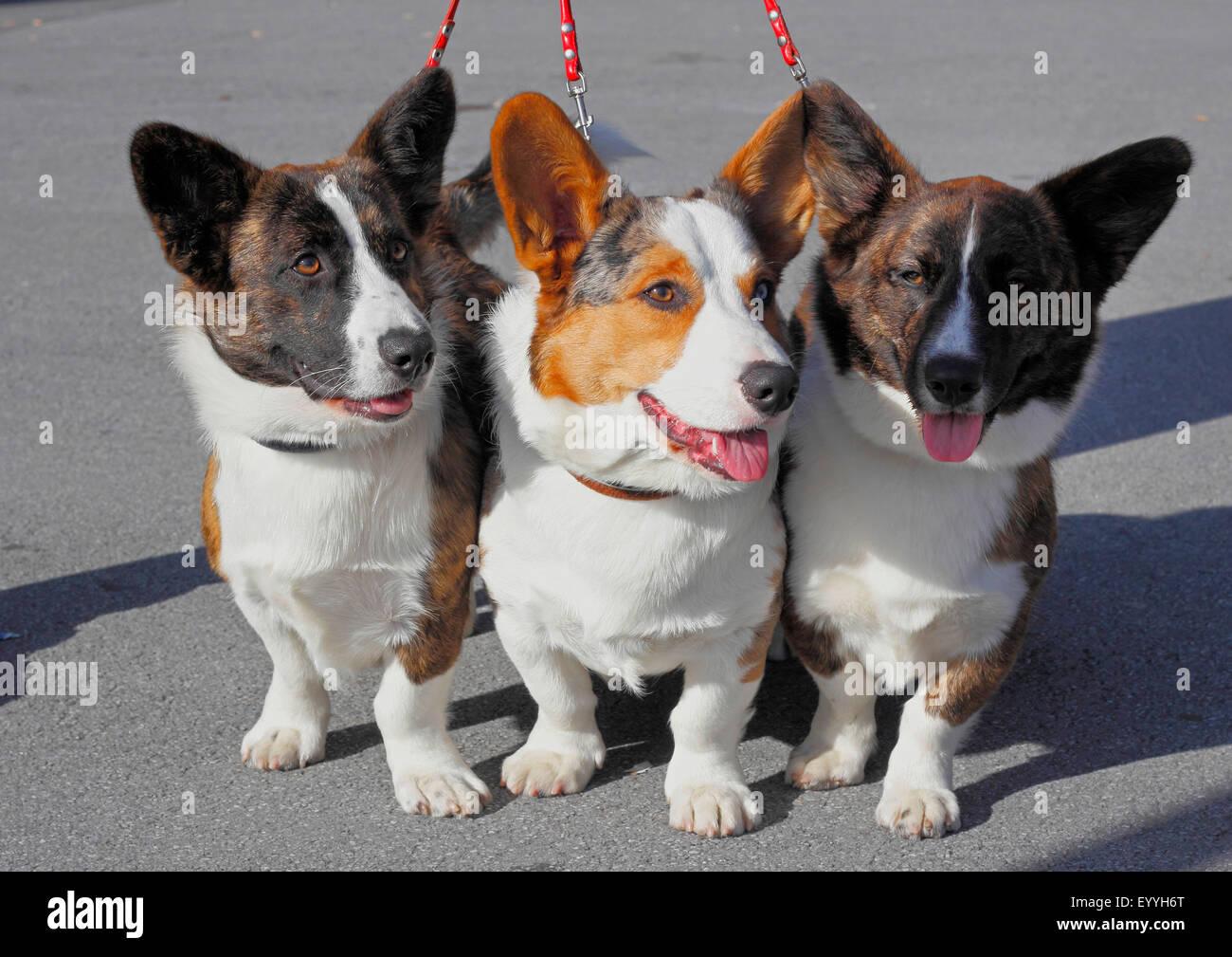 Welsh Corgi Pembroke (Canis lupus familiaris) f., tres juntos liberan Welsh Corgi Pembrokes, Alemania Foto de stock