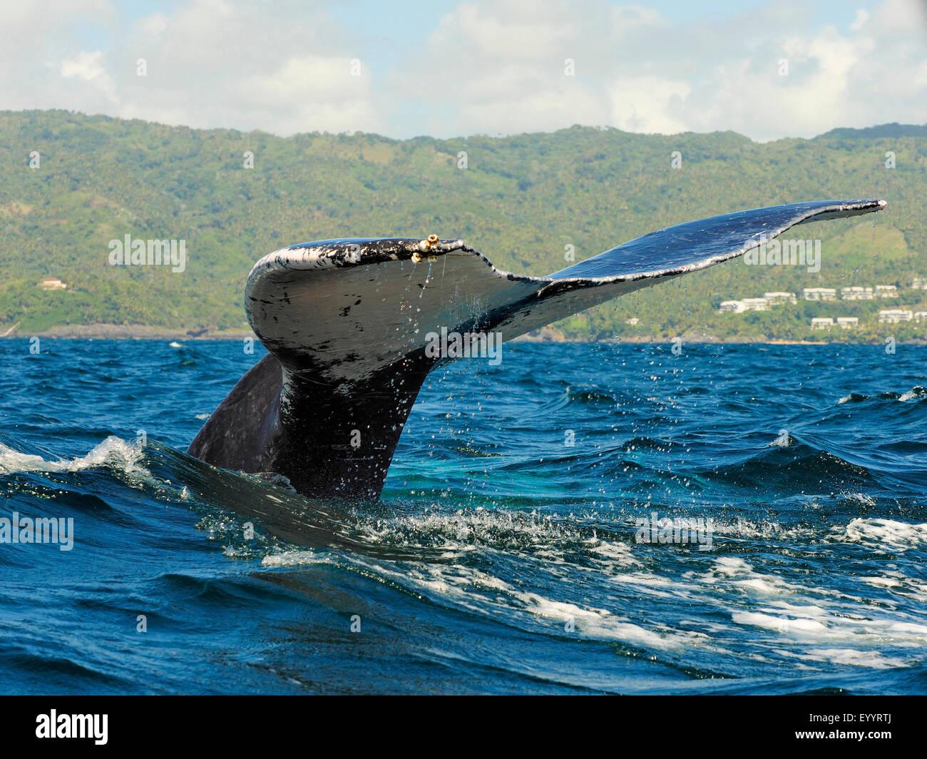 La ballena jorobada (Megaptera novaeangliae), aletas traseras, Samana, República Dominicana Imagen De Stock