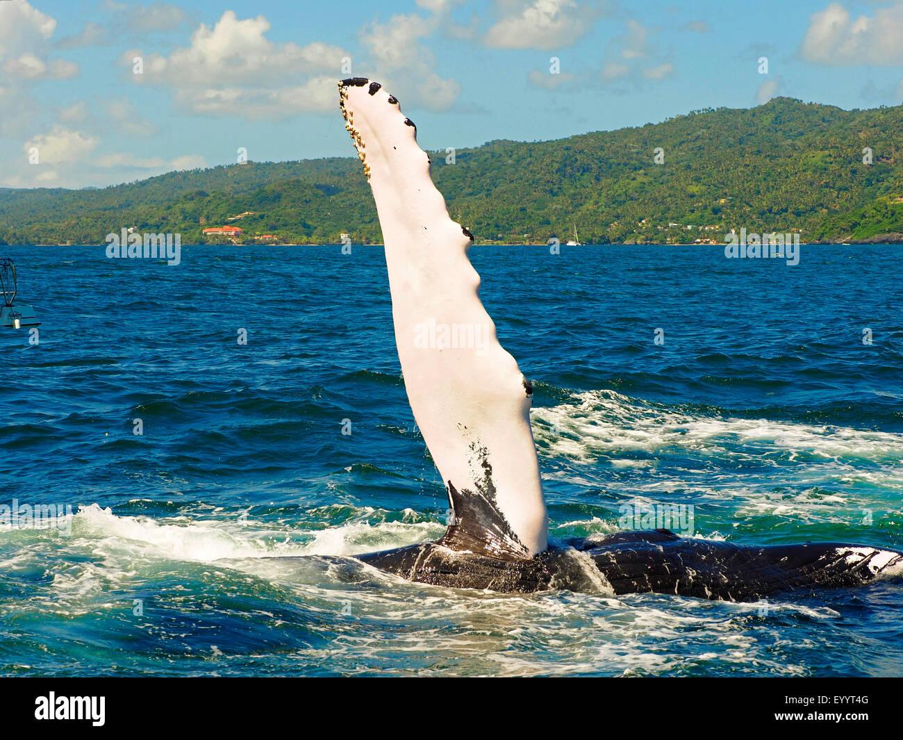 La ballena jorobada (Megaptera novaeangliae), la ballena jorobada bofetadas su aleta, Samana, República Dominicana Foto de stock