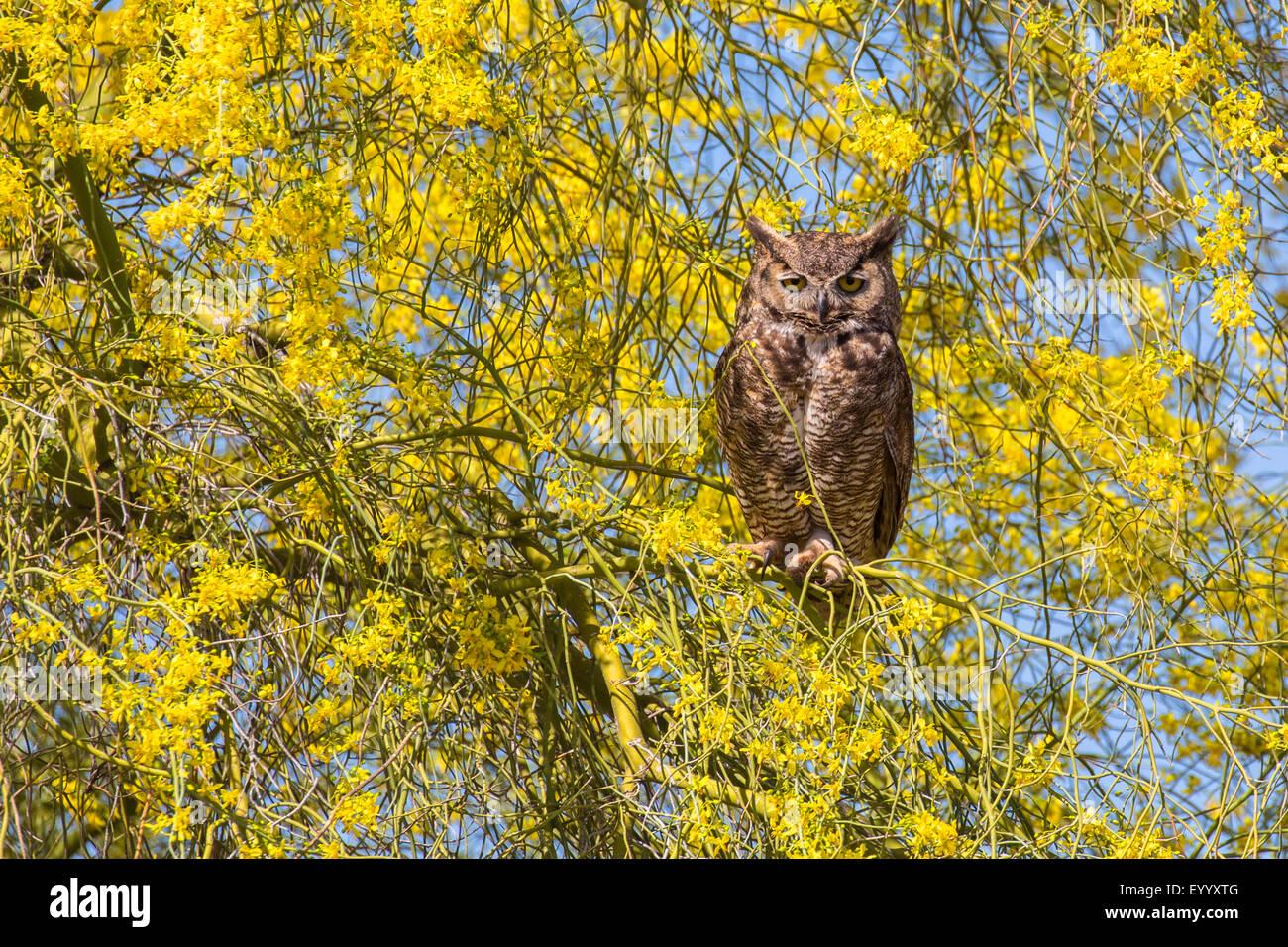 Gran búho cornudo (Bubo virginianus), se sienta en la floración del árbol de Palo Verde, Phoenix, Imagen De Stock