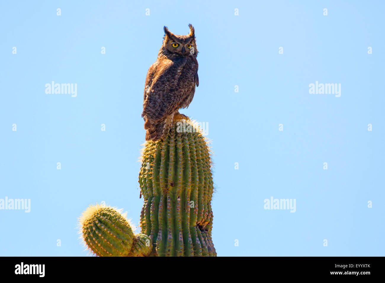 Gran búho cornudo (Bubo virginianus), ontip de un cacto saguaro, Phoenix, Arizona, EE.UU. Imagen De Stock