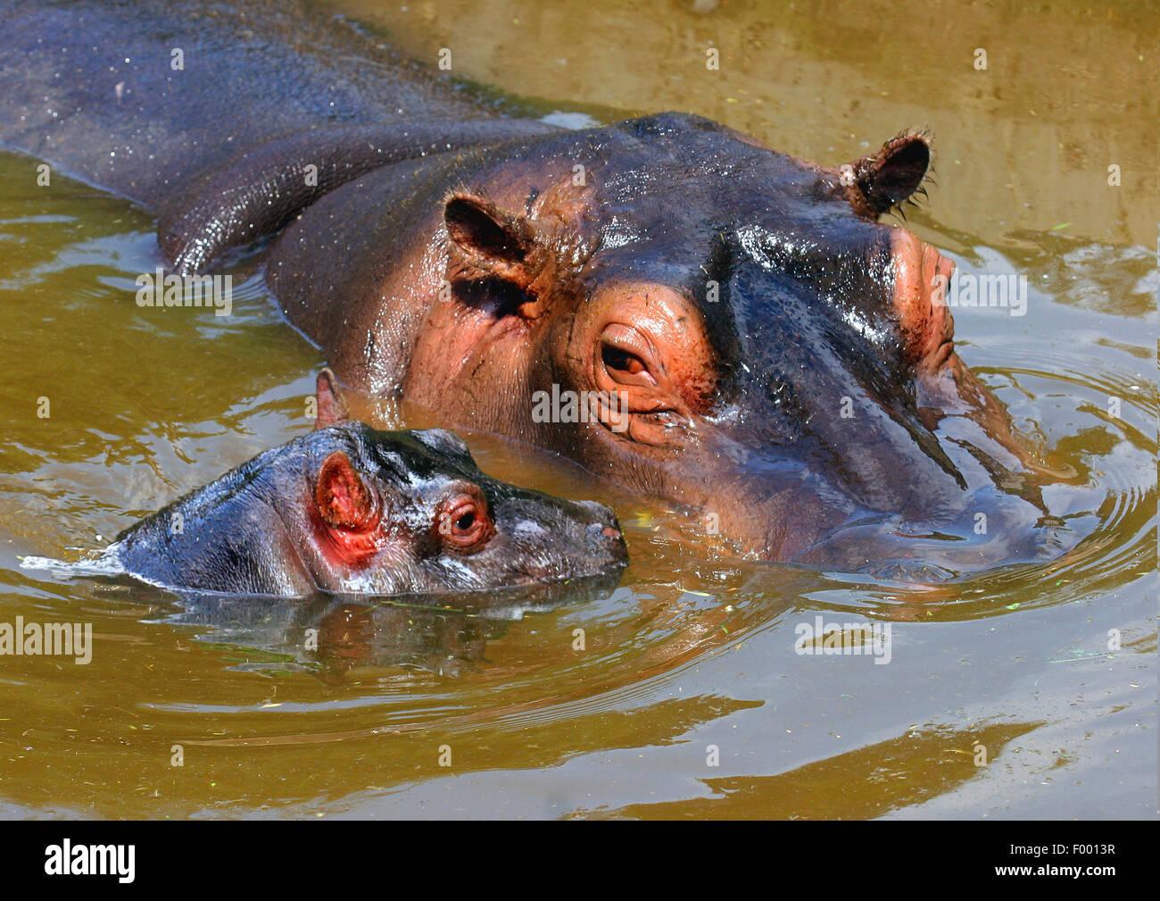 Hipopótamos, hipopótamos, hipopótamo común (Hippopotamus amphibius), adultos con pup en tramo Imagen De Stock