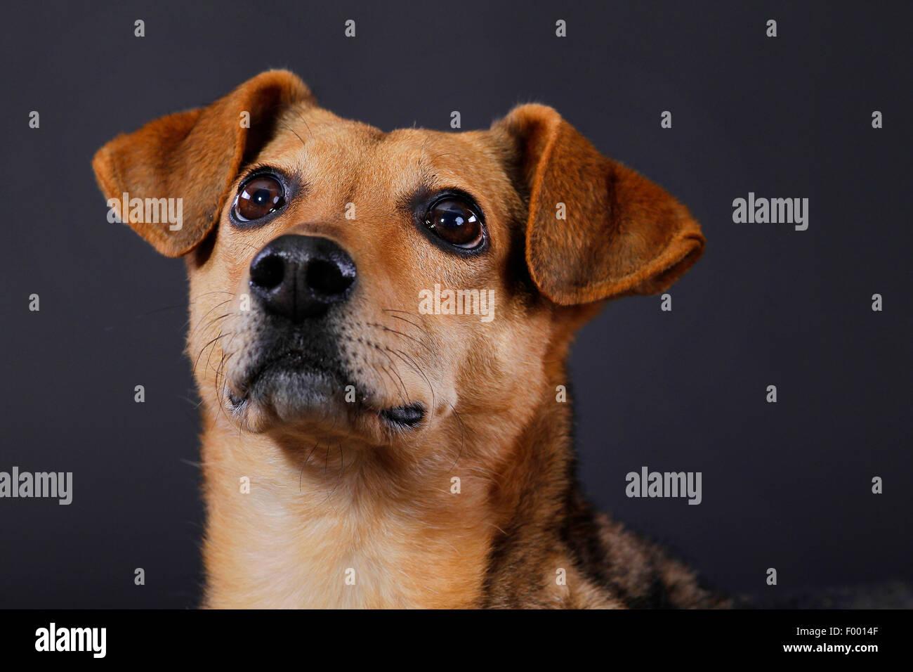 Perro doméstico (Canis lupus familiaris) f., retrato delante de fondo negro Imagen De Stock