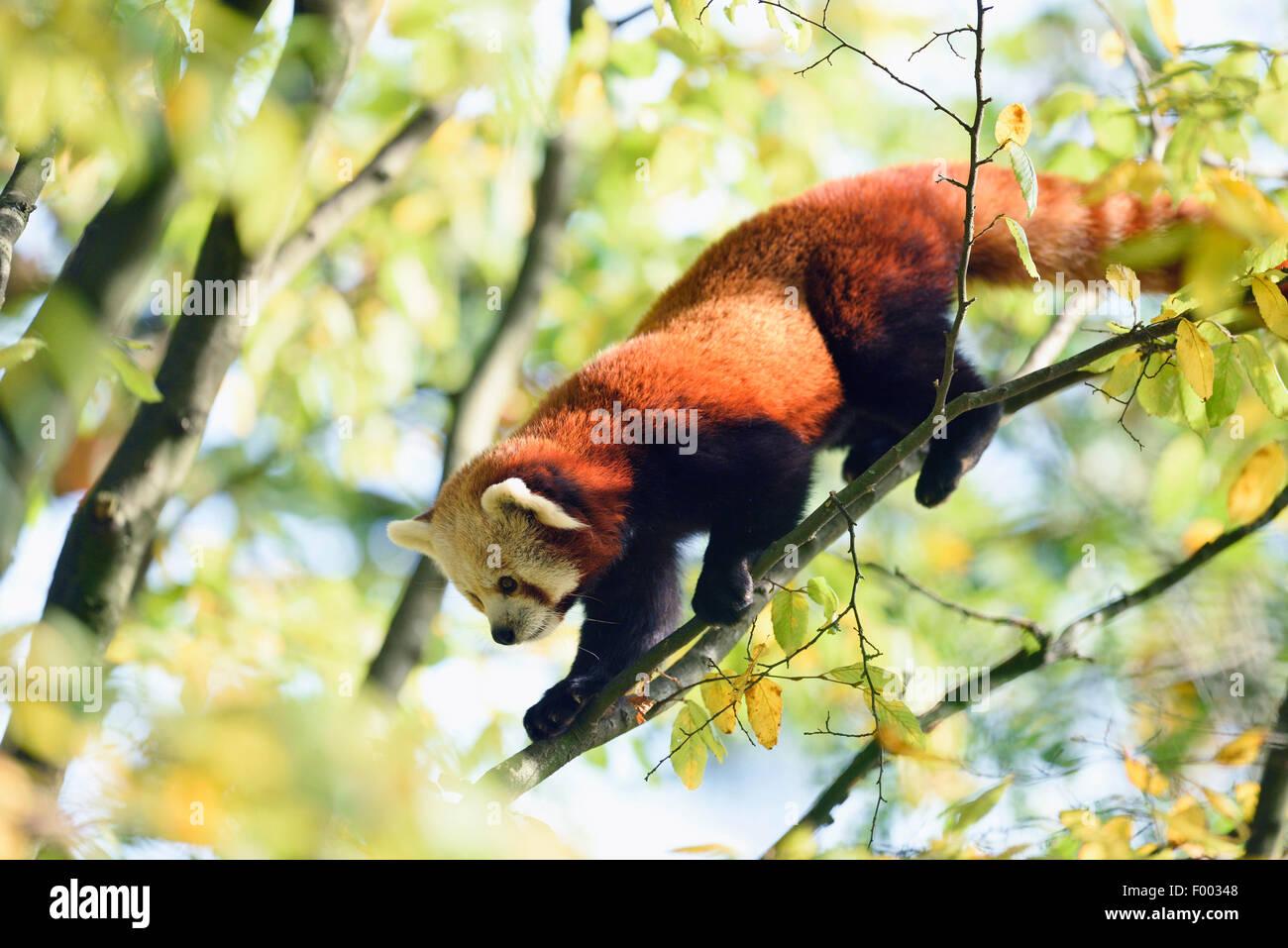 Lesser panda, el panda rojo (Ailurus fulgens), escalada en una sucursal Imagen De Stock