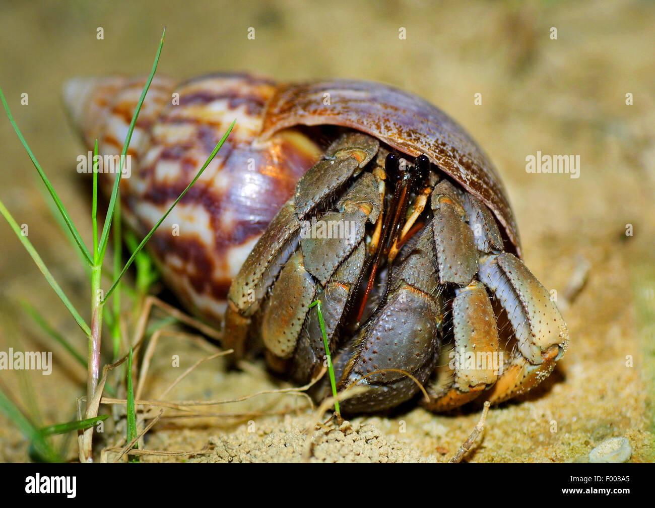 Gran cangrejo ermitaño cangrejo ermitaño común, soldado, soldado de cangrejo ermitaño cangrejo, Imagen De Stock